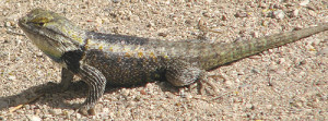 desert_spiney_lizard_02